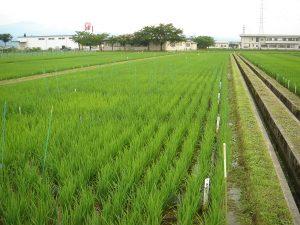 山形県農業試験場での試験
